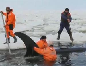 Gli abitanti dell'Estremo Oriente russo hanno salvato le orche marine intrappolate nel ghiaccio (VIDEO) / L'operazione di salvataggio dei cetacei è durata quasi otto ore