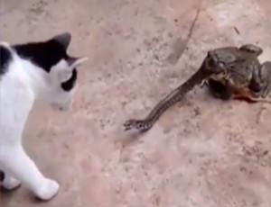 La battaglia del secolo: gatto attacca serpente ingoiato da un rospo (VIDEO)