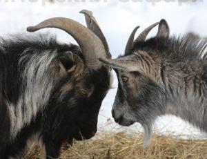 In agenda visita di Obama nel Safari Park di Primorye (VIDEO) / Non è il presidente statunitense, ma il suo omonimo, un caprone