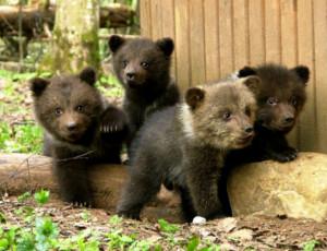 Orsi per l'esportazione / L'Estremo Oriente russo dona alcuni orsi agli altri paesi