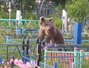 Ucciso un orso-necrofago che si cibava dei cadaveri al cimitero