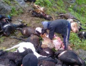 In Kirghizistan un fulmine ha colpito e ucciso 120 pecore